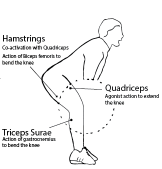 Example of muscle coactivation and strength of quadriceps is counterbalanced by strength of hamstrings